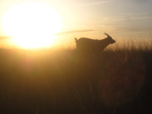 Goat at sunset