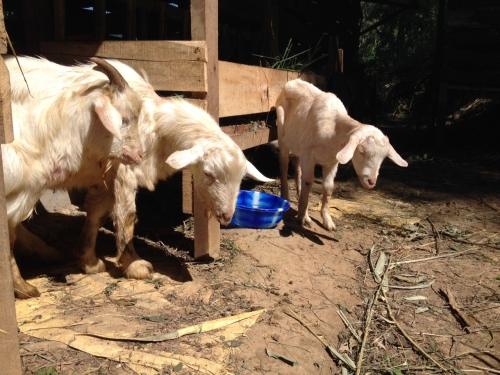 My sad sick goats. All three of these ended up dying despite our best efforts to save them